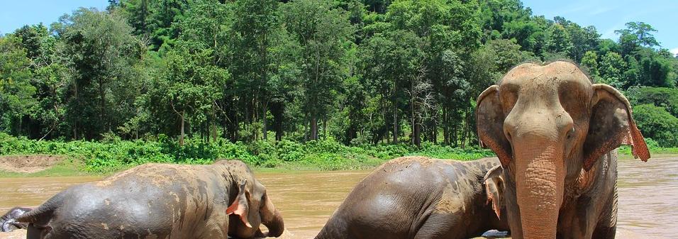 elephant Thaïlande